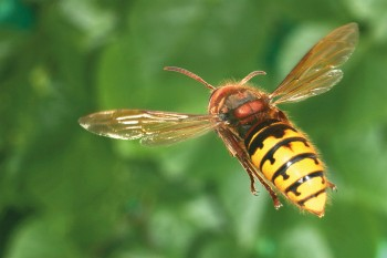 Frelon européen (Vespa crabro) photo