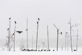 Grand corbeau / © Mika Honkalinna
