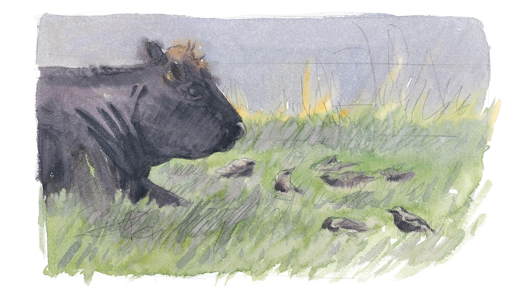 Dessin étourneaux et vache