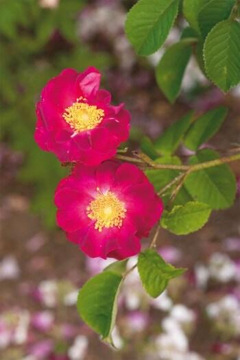 Variétés de rose