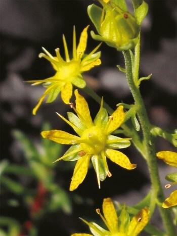 Photo de saxifrage faux aïzoon