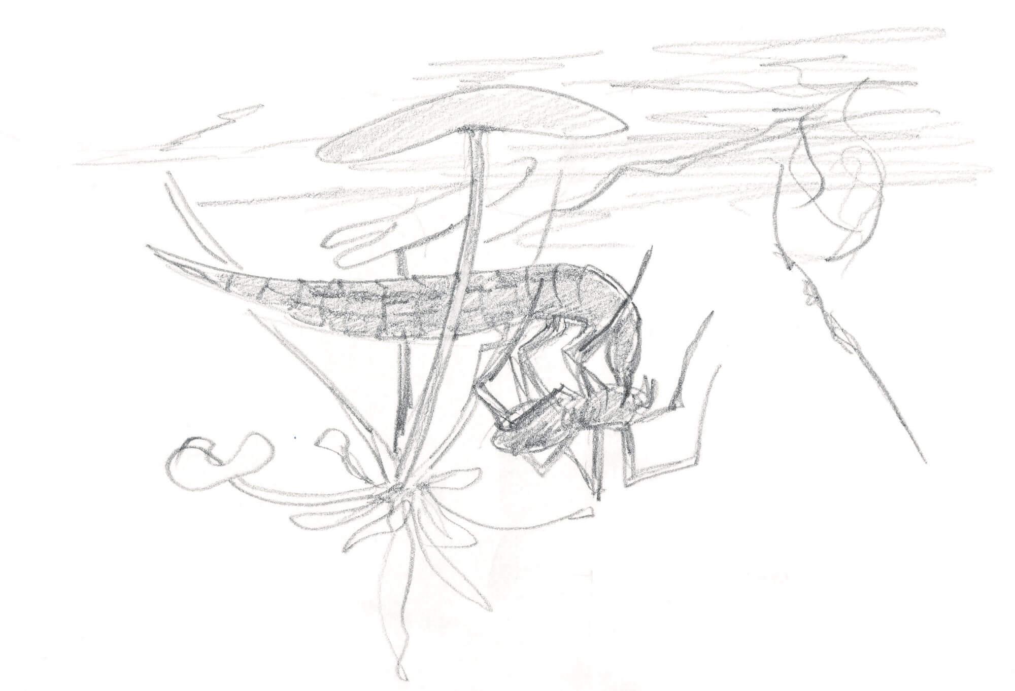 Dessin larve dytique