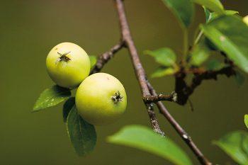 L'association Rétropomme, basée dans le canton de Neuchâtel, remet au goût du jour des variétés d'arbres fruitiers hautes tiges tombées dans l'oubli.