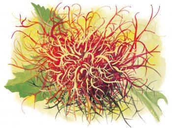 Le bédégar peut atteindre 10cm de diamètre, en particulier lorsqu'il abrite plusieurs espèces différentes. Cette galle apparaît plus fréquemment sur des rosiers sauvages maladifs que sur des plantes  vigoureuses.