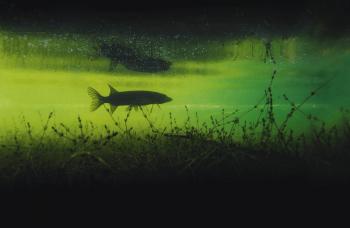 Le brochet n'est pas le seul grand prédateur du lac Léman.