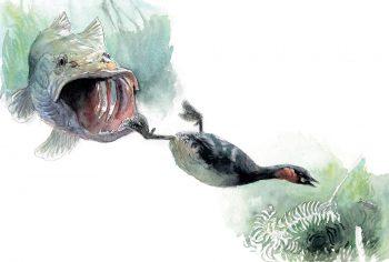 Le brochet ouvre sa gueule, prêt à capturer le grèbe castagneux.