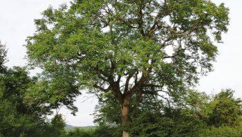 Le cormier à gros fruits, un arbre remarquable qui se fait rare dans nos campagnes, et encore plus dans nos assiettes.