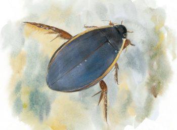 Le Cybister lateralimarginalis, un des plus gros et des plus beaux dytiques des eaux stagnantes.