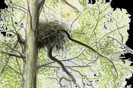 Le nid de la secrète cigogne noire est placé au coeur de la forêt où règne un calme absolu. / © Jean-Philippe Paul