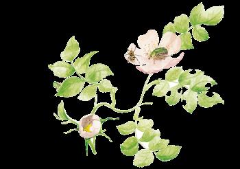 Les rosiers sauvages font le bonheur…