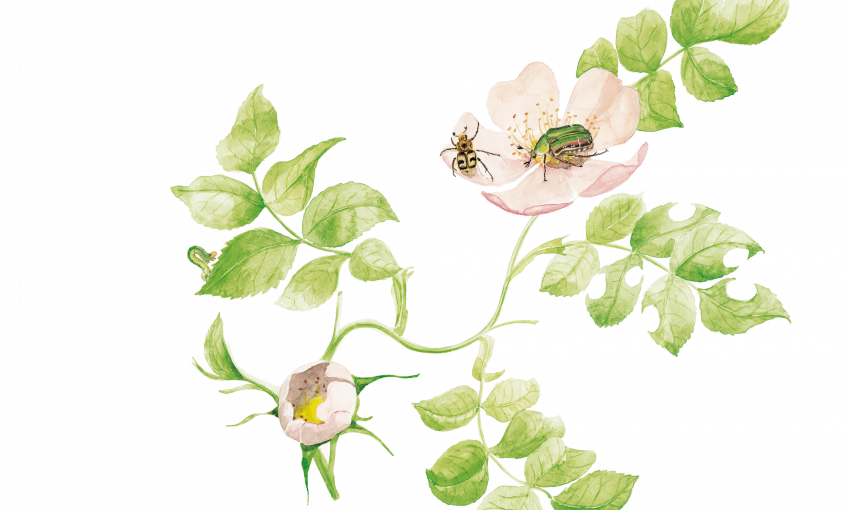 Insectes visiteurs des rosiers dessin nature