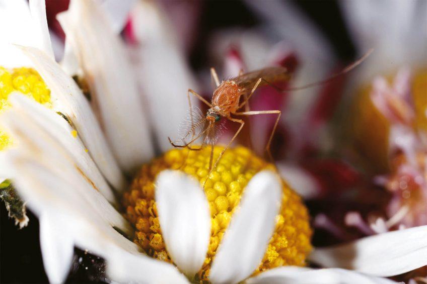 Photo de moustique male qui mange du pollen