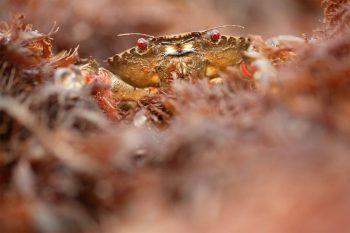 L'étrille est un crabe aux yeux rouges caractéristiques.