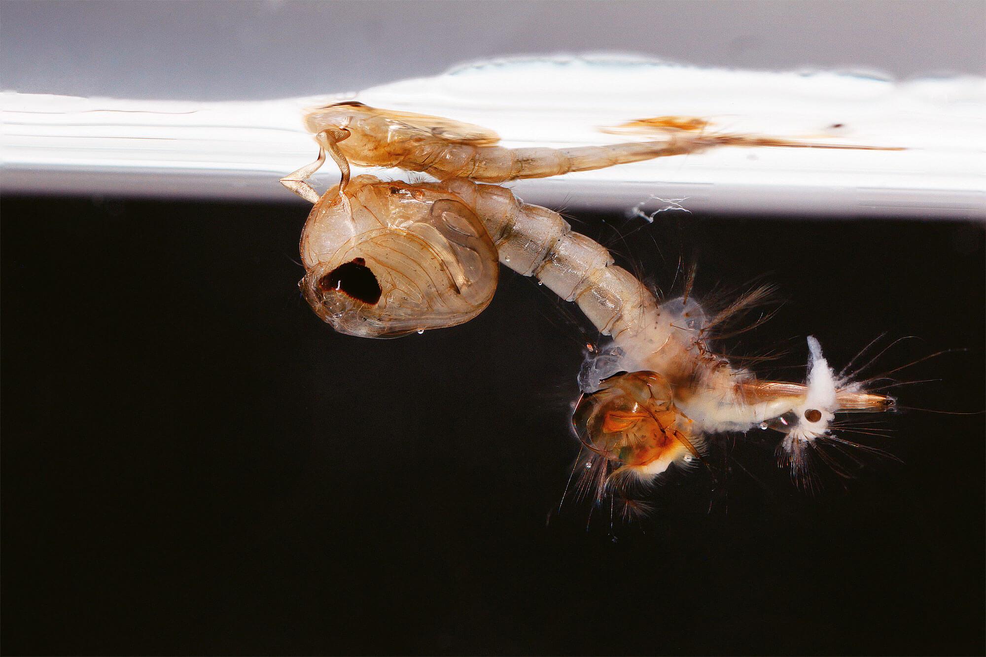 Photo de larve de moustique se transformant en nymphe