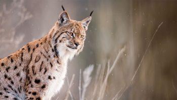 Lynx boréal mâle