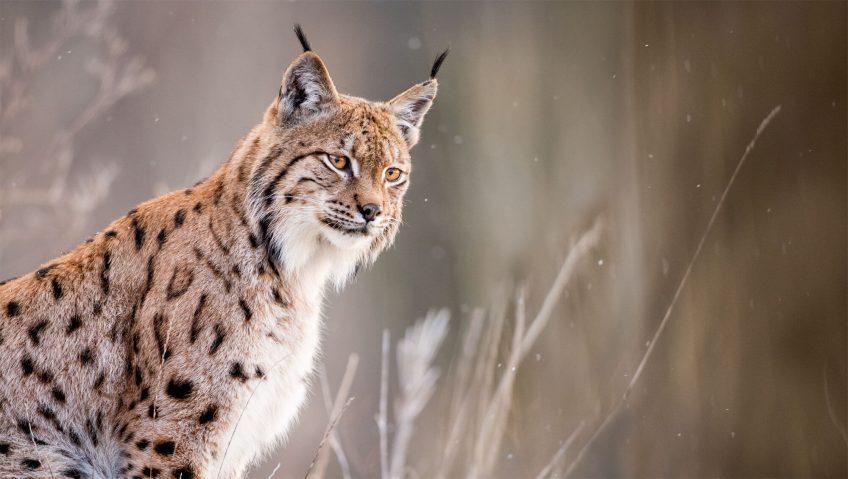 Neil Villard sur la piste du lynx