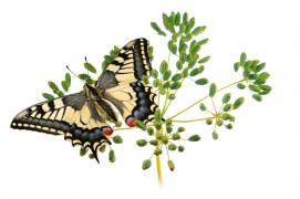 Machaon (Papilio machaon - «Ce sont mes petites voisines qui m'ont apporté la magnifique chenille de ce machaon. Elles l'avaient trouvée sur des fanes de carottes, au potager, alors que je la cherchais partout ailleurs. Aujourd'hui, tout le village m'apporte chenilles, papillons ou d'autres insectes. / © Stéphane Hette