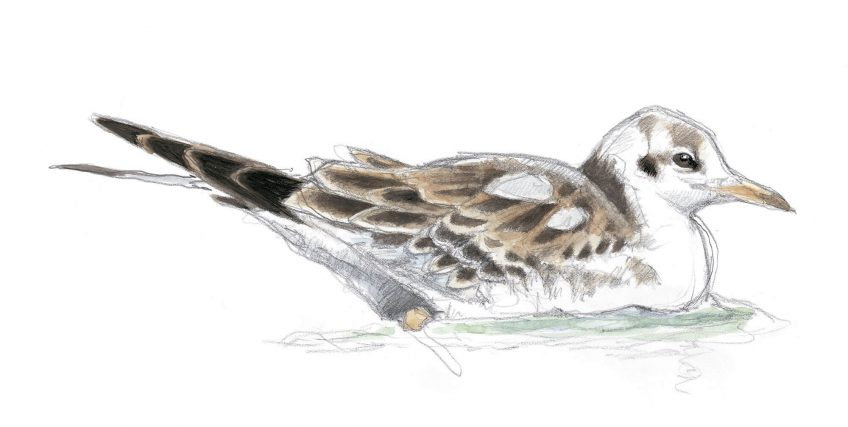 Dessin nature mouette rieuse