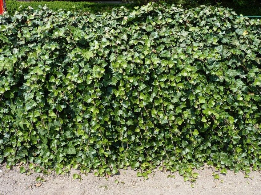 Mur de lierre