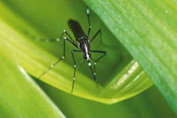 On reconnaît facilement Aedes albopictus aux…