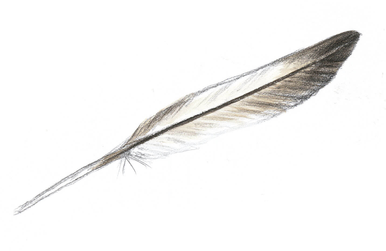 Dessin nature mouette rieuse plume