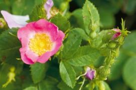 Rosier églantier (Rosa rubiginosa) / © Benoît Renevey