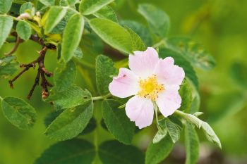 Rosier tomenteux (Rosa tomentosa)