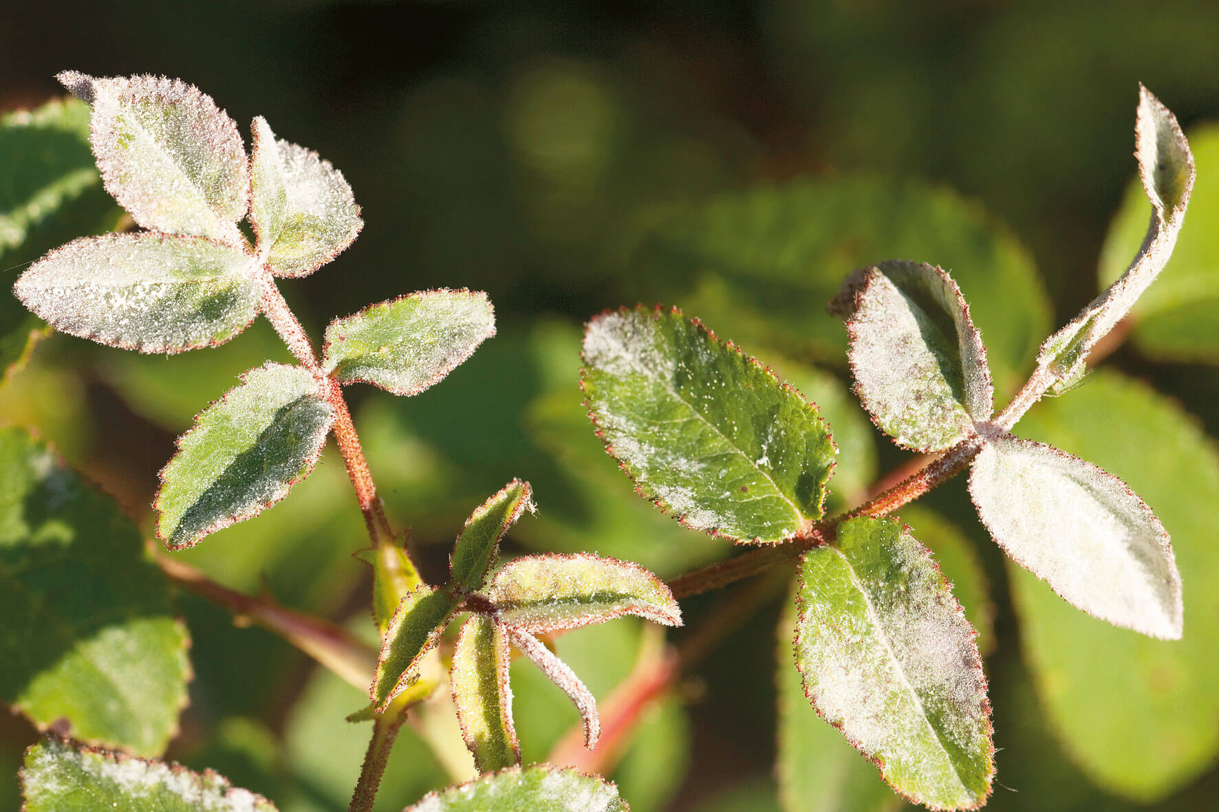 Entretien rosier sauvage maladies