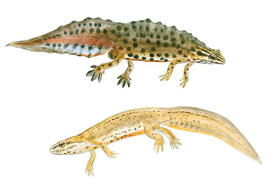 Triton lobé mâle (en-haut) et femelle (en-bas) dessin