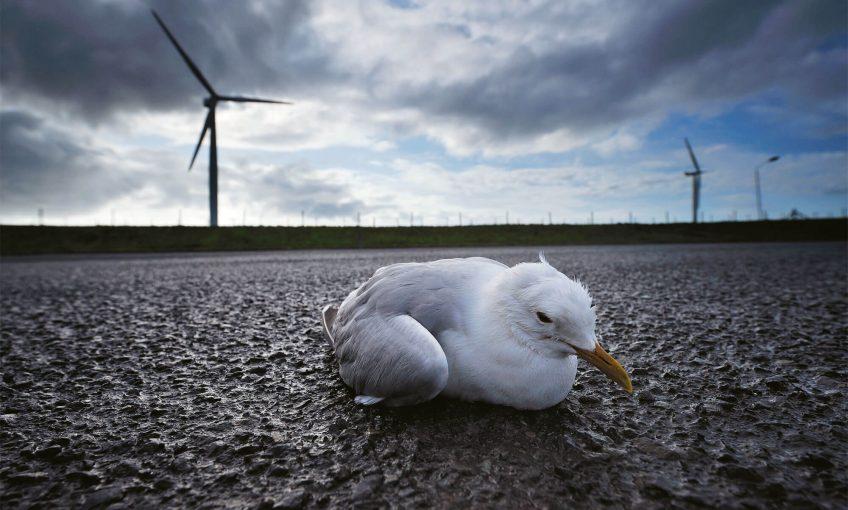 Photo de goéland assommé par une éolienne