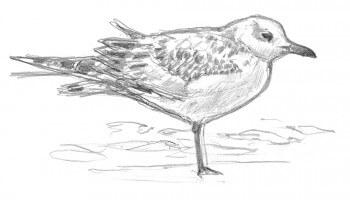 Observez les mouettes pour vous exercer à l'ornithologie