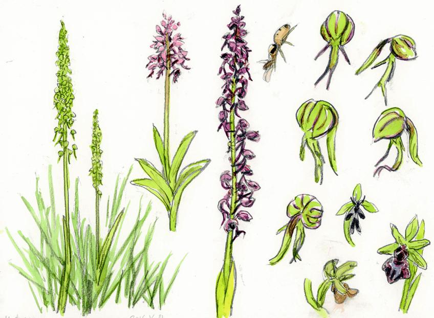 Orchidée militaire homme-pendu