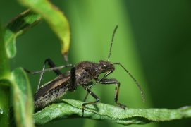 Alydus calcaratus (Magalie Mazuy) / © Magalie Mazuy