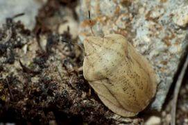 Eurygaster austriaca (Magalie Mazuy) / © Magalie Mazuy