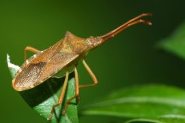 Gonocerus acuteangulatus (Magalie Mazuy) / © Magalie Mazuy