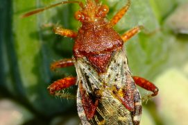 Rhopalus subrufus (Magalie Mazuy) / © Magalie Mazuy