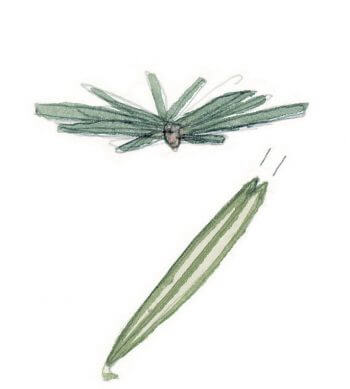 Distinguer l'épicéa et le sapin blanc