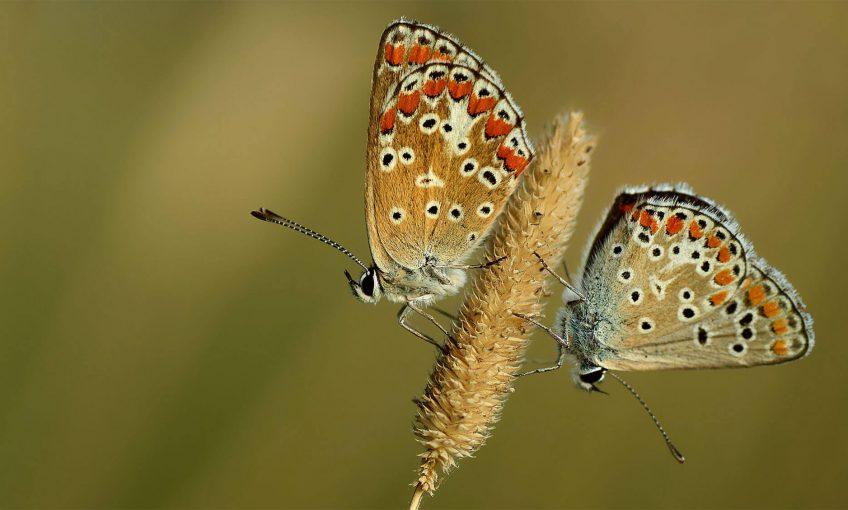 Azurés: une couleur, plusieurs espèces