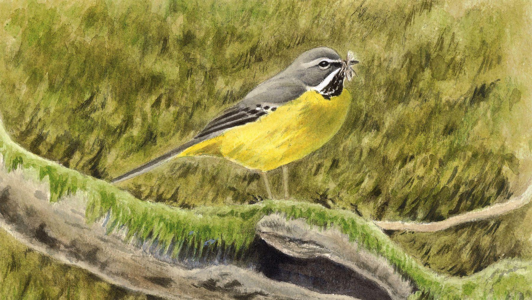 Bergeronnette cincle et autres oiseaux de rivi re la for Oiseau jaune france