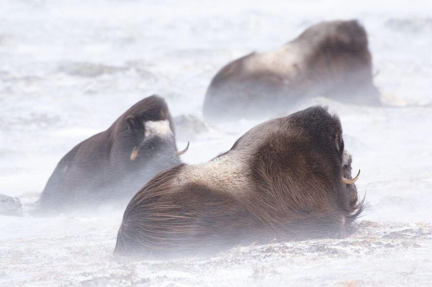 Survivants fascinants au temps des mammouths