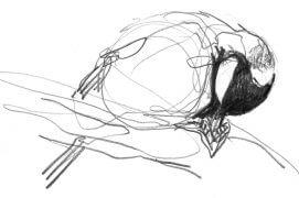 «Ce mâle fait la navette entre une mangeoire pleine de graines de tournesol et un arbre proche où il les décortique.»  / © Denis Clavreul