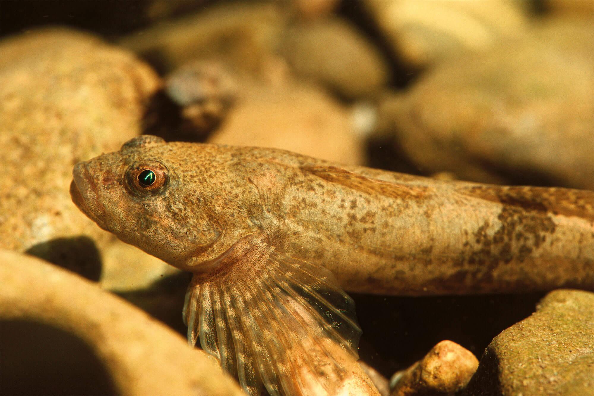 Le chabot, poisson caillou