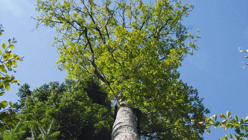 Le chêne sessile, joyau patrimonial