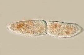 Cilié en division (Paramecium caudatum) / © R. Wagner, W. Bettigofer, J.-M. Babalian, P. Galliker et R. Birke/P. ArnolD (biosphoto)