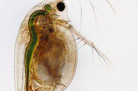 Crustacé cladocère (Daphnia pulex) / © R. Wagner, W. Bettigofer, J.-M. Babalian, P. Galliker et R. Birke/P. ArnolD (biosphoto)