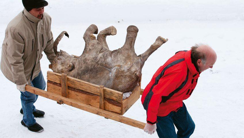 La fin des mammouths sous le dégel