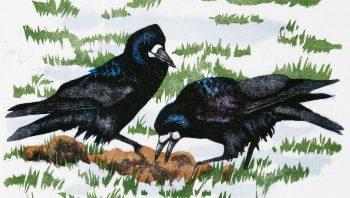 Deux corbeaux freux en gravure sur bois