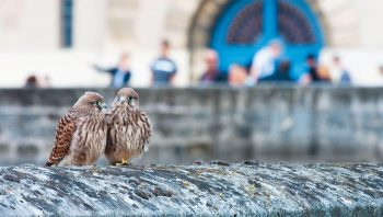Deux jeunes faucons crécerelles au château…