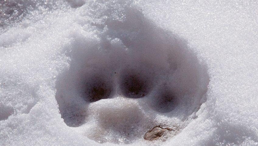 Partez à la recherche de traces de mammifères
