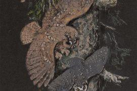 En montagne, la chouette de Tengmalm fait parfois les frais de l'appétit de la hulotte / © Jean Chevallier